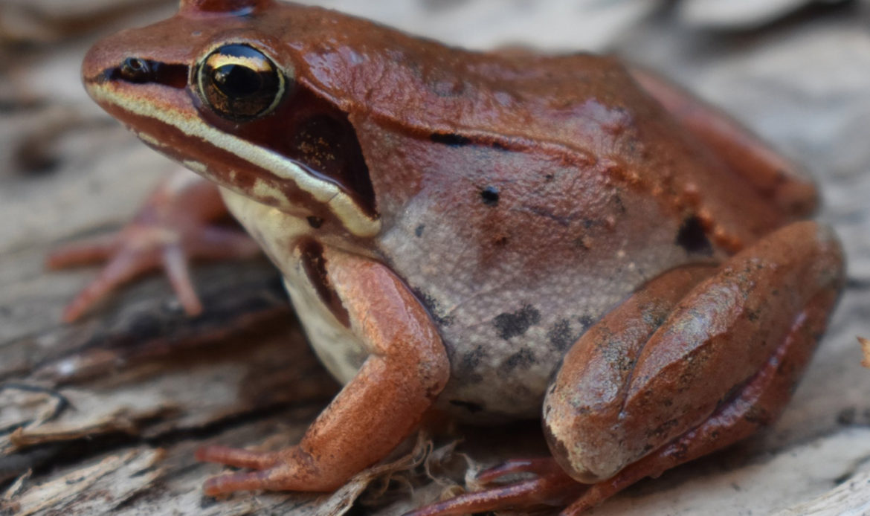 Wood Frog… Rana sylvatica