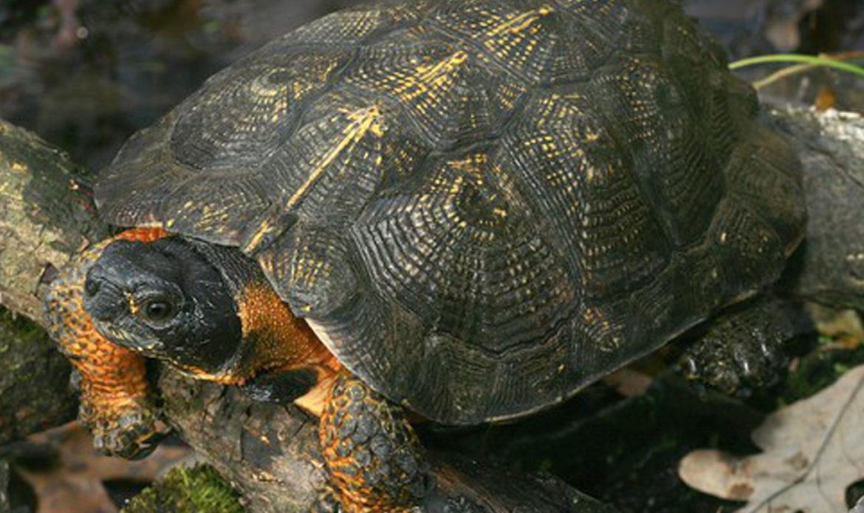Wood Turtle… Glyptemys insculpta