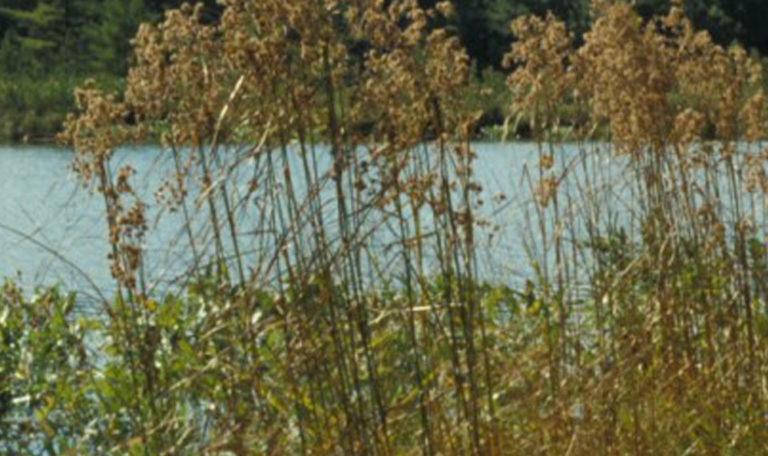 Wool Grass… Scirpus cyperinus