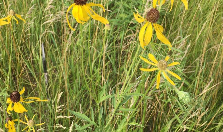 Yellow Coneflower Ratibida pinnata