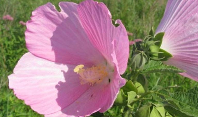 Swamp/Rose Mallow Hibiscus moscheutos